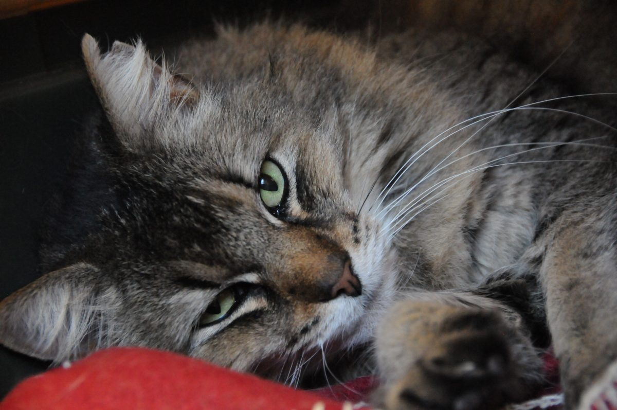 Adopt a cat from the Humane Society of Central Arizona!